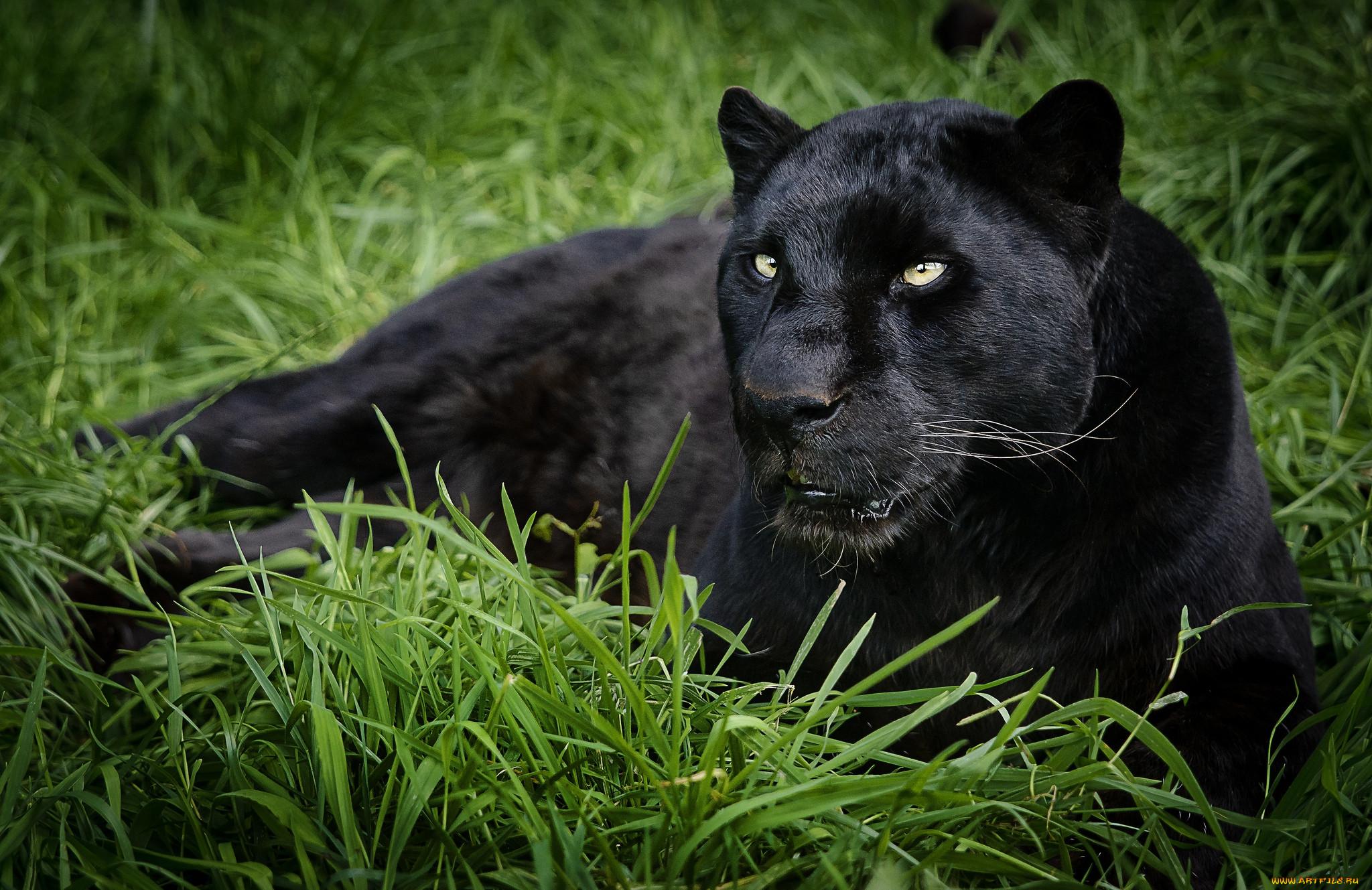 смотреть картинки животных пантера сказать, что